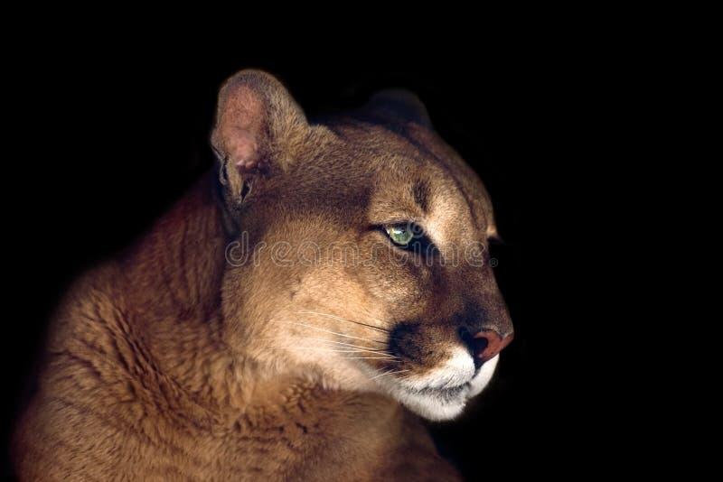 Retrato hermoso del puma fotografía de archivo