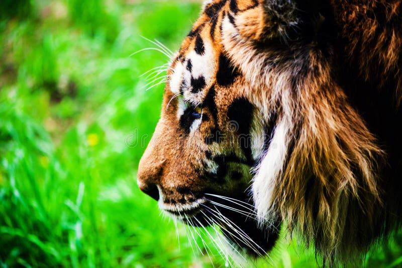 Retrato hermoso del tigre de amur imagen de archivo