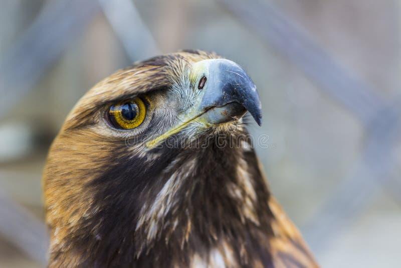 Retrato honesto próximo da águia dourada imagens de stock