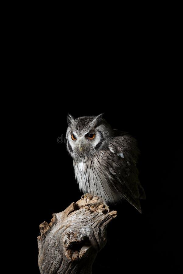 Retrato impressionante do Southern White Faced Owl Ptilopsis Granti em cenário de estúdio em fundo preto com iluminação dramá fotos de stock royalty free