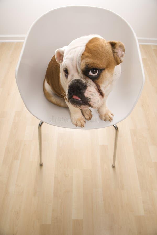 Retrato inglés del dogo que se sienta en silla. foto de archivo
