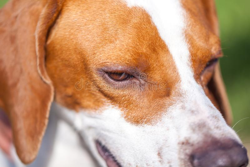 Retrato inglês do ponteiro do cão de caça Fim acima Mundo animal imagem de stock