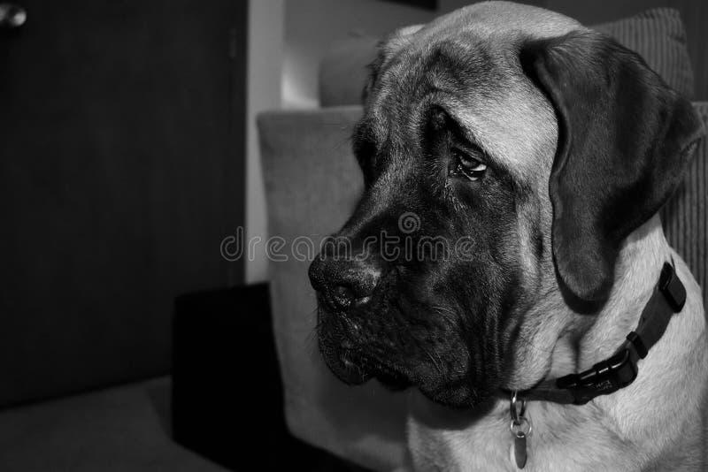Retrato inglês preto & branco do cachorrinho do mastim imagem de stock royalty free