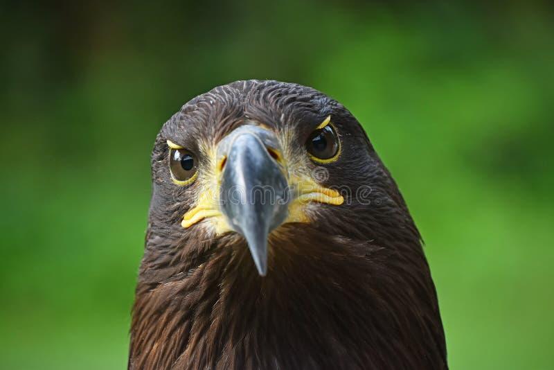 Retrato inicial cercano del águila de oro en verde fotos de archivo libres de regalías