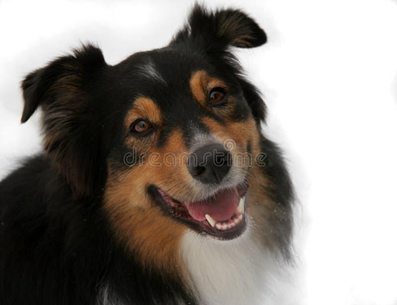 Retrato isolado do cão foto de stock royalty free