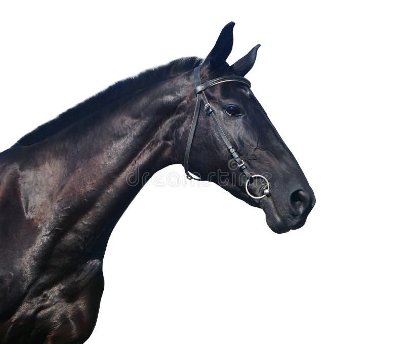 Retrato isolado do cavalo imagens de stock