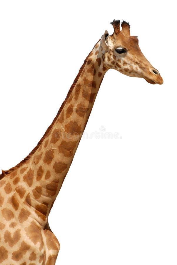 Retrato isolado do giraffe fotos de stock