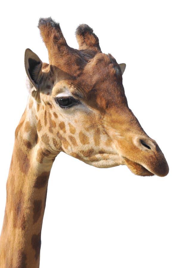 Retrato isolado do giraffe imagens de stock royalty free