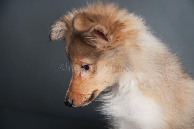 Retrato isolado no estúdio, cachorrinho bonito do cachorrinho do cão pastor de Shetland do sheltie foto de stock