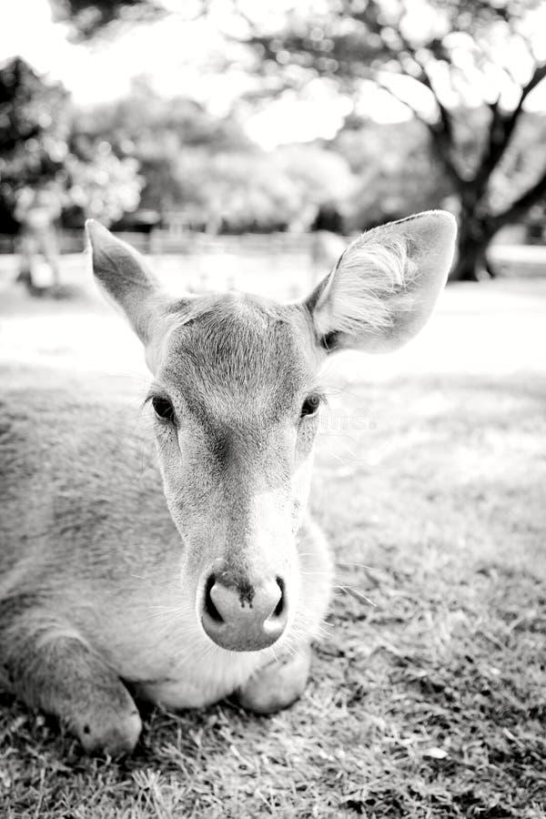 Retrato joven de los ciervos fotografía de archivo libre de regalías