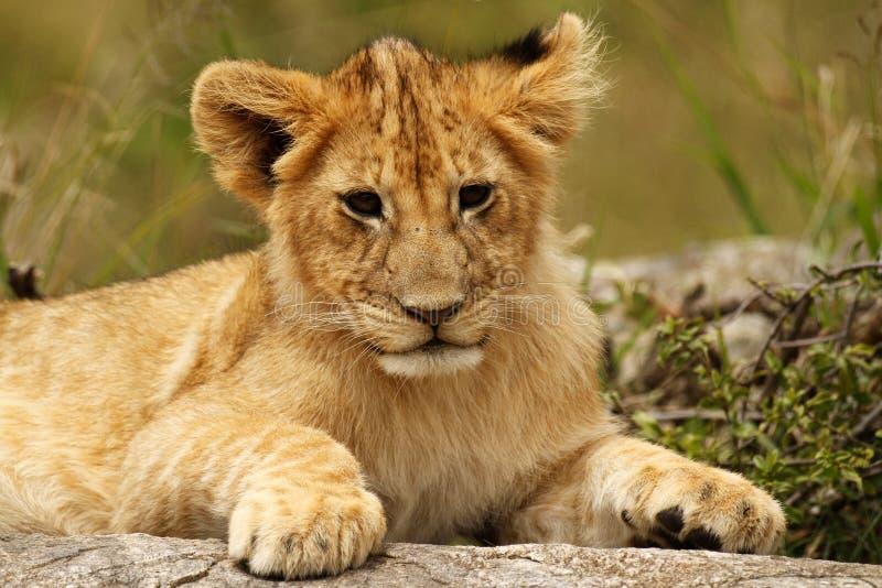 Retrato joven del cachorro de león fotos de archivo libres de regalías