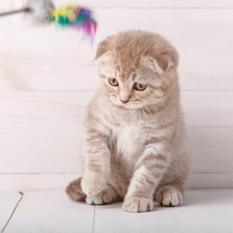 Retrato juguetón del gato del doblez del escocés del color crema fotografía de archivo libre de regalías