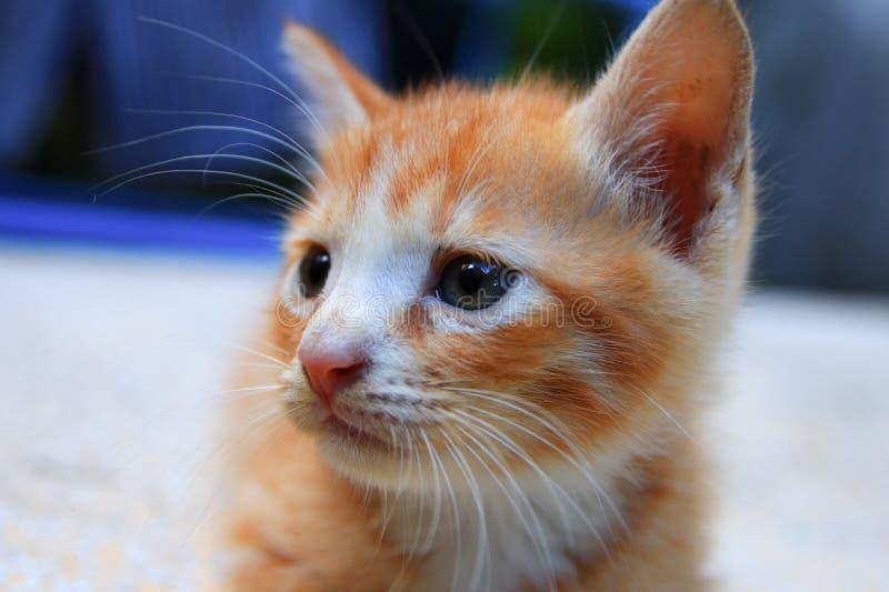 Retrato laranja-vermelho, foco seleto bonito do gatinho do gato pequeno com profundidade de campo rasa imagens de stock