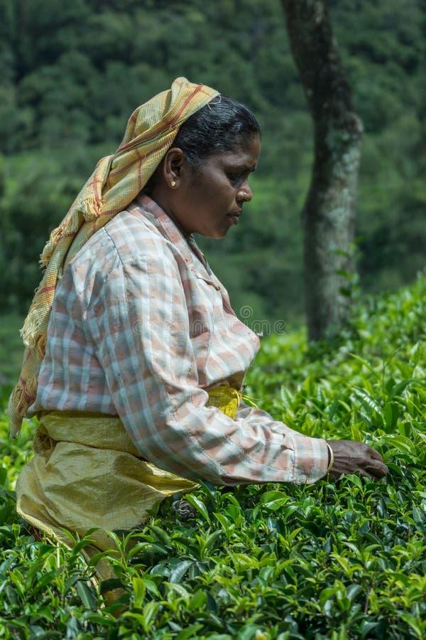 Retrato lateral de las mujeres que escogen las hojas de té fotografía de archivo libre de regalías