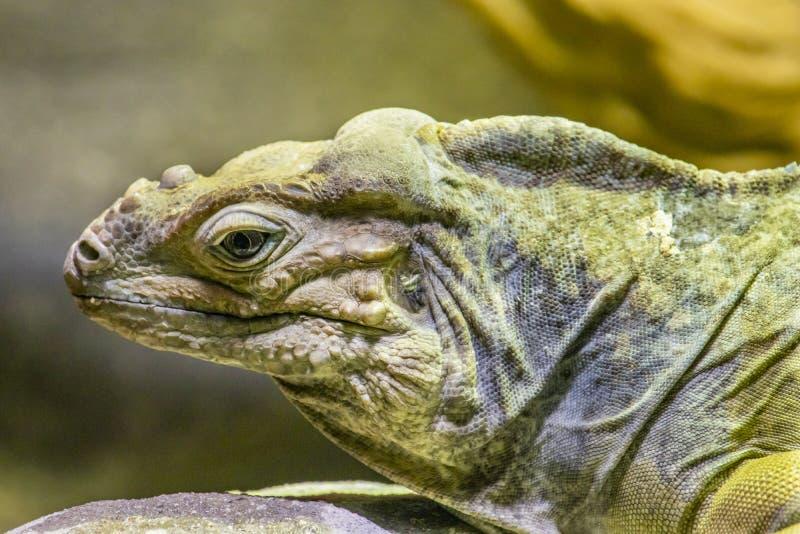 Retrato lateral de una iguana del rinoceronte foto de archivo libre de regalías