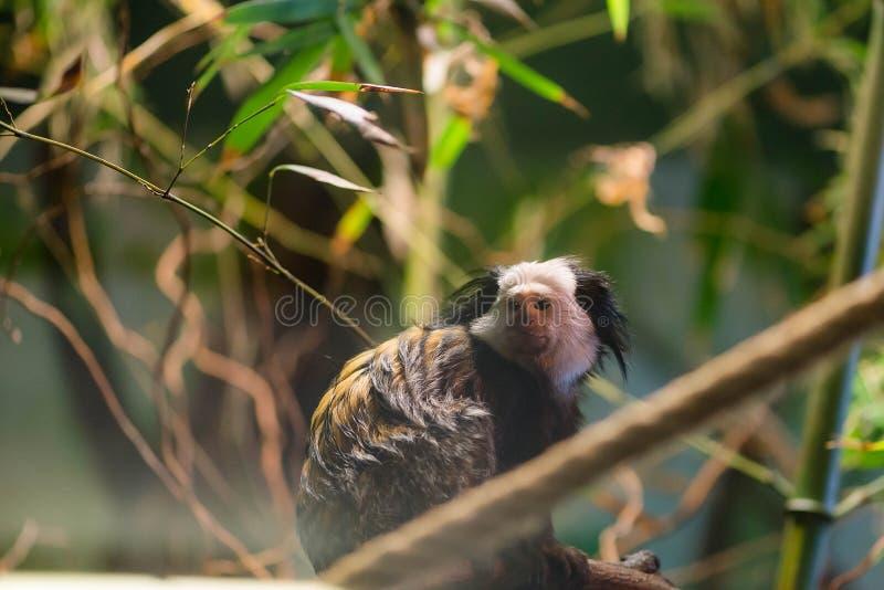 retrato Le?o-atado do macaque Seu igualmente conhecido como wanderoo, bartaffe, macaco da barba e silenus do macaca foto de stock