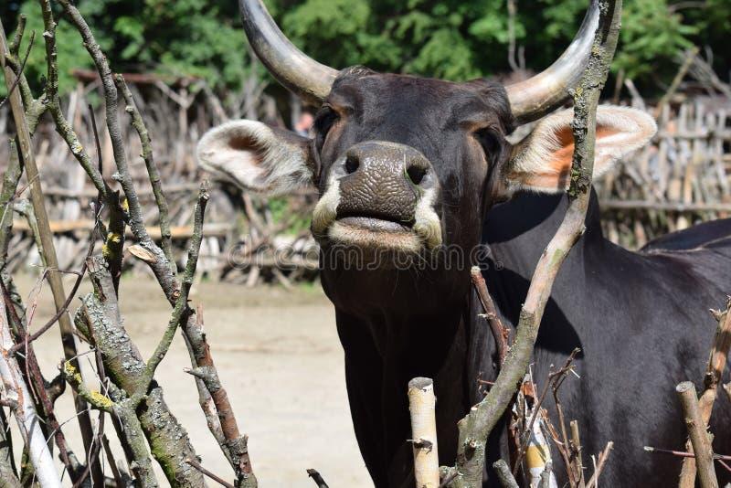 Retrato lindo de la sepia del enano de Dahomey de la vaca fotografía de archivo