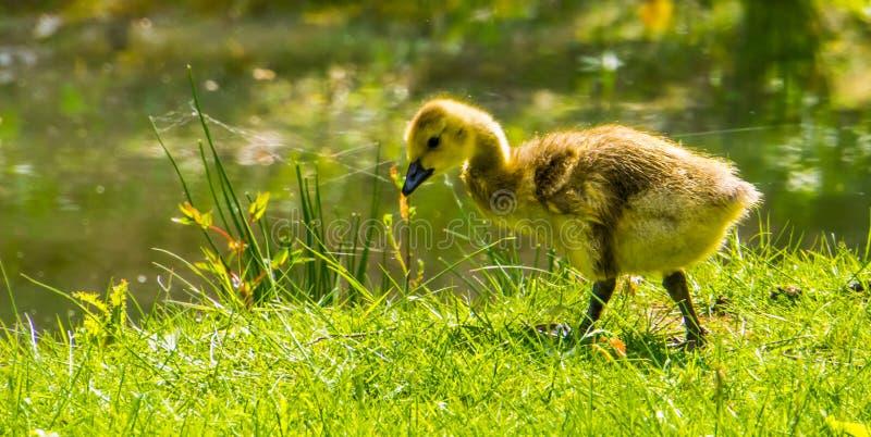 Retrato lindo de un ansarón del ganso que cacarea que camina en la hierba, pato juvenil, especie tropical del primer del pájaro d foto de archivo
