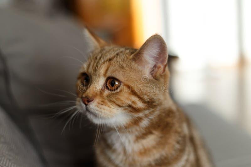 Retrato lindo de un gatito escoc?s derecho Gato escocés de oro imagen de archivo libre de regalías
