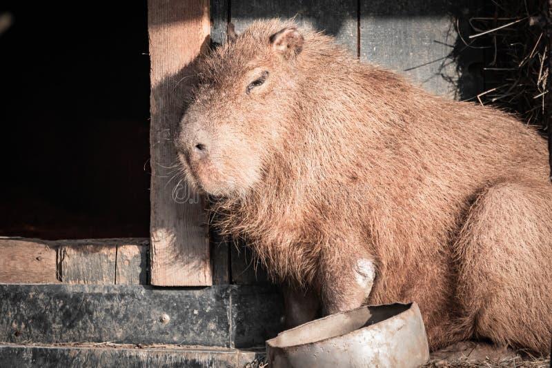 Retrato lindo del capybara que toma el sol imagen de archivo libre de regalías