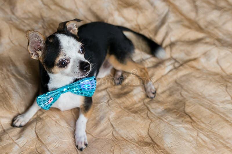 Retrato lindo del pequeño perro con la mariposa azul fotos de archivo libres de regalías