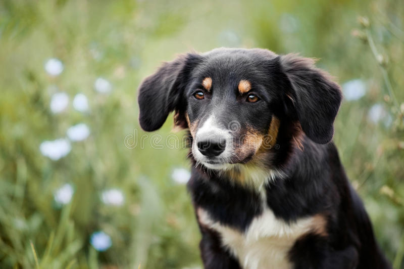 Retrato lindo del perrito del border collie imagen de archivo