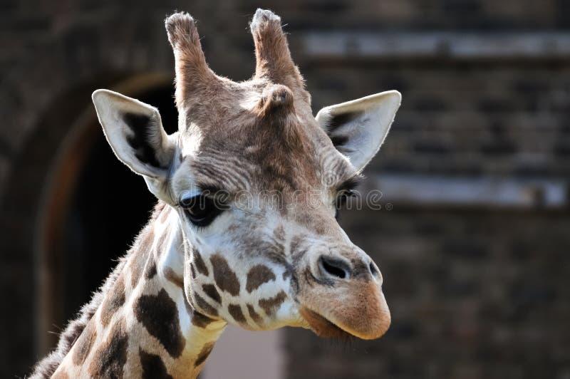 Retrato lindo del primer de la jirafa foto de archivo libre de regalías
