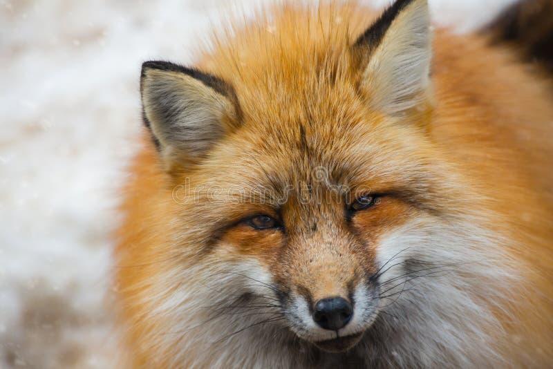 Retrato lindo mullido del zorro rojo en el invierno, zao, miyagi, ?rea de Tohoku, Jap?n fotografía de archivo