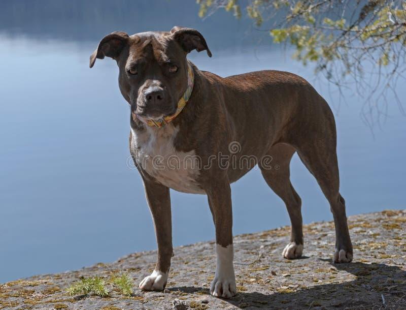 Retrato lleno del cuerpo de un personal berrendo Pit Bull Dog de la  imagen de archivo
