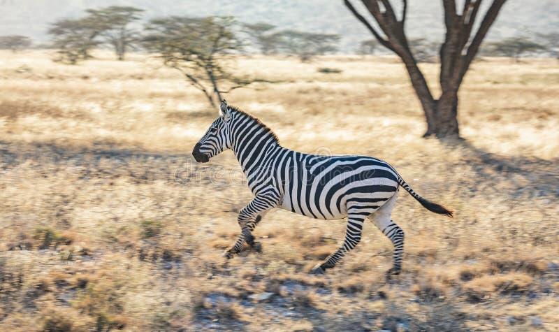 Retrato lleno del perfil del cuerpo de la cebra, quagga del Equus, corriendo en paisaje africano septentrional foto de archivo libre de regalías