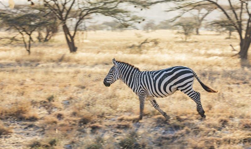 Retrato lleno del perfil del cuerpo de la cebra, quagga del Equus, corriendo en paisaje africano septentrional imágenes de archivo libres de regalías