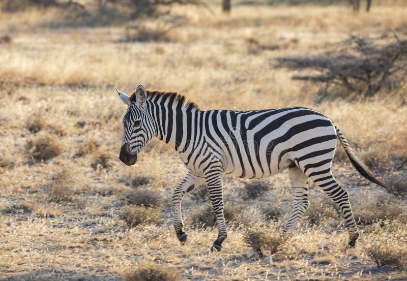 Retrato lleno del perfil del cuerpo de la cebra, quagga del Equus, corriendo en paisaje africano septentrional fotografía de archivo