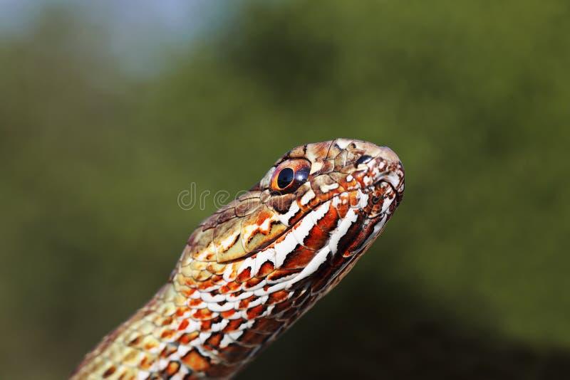 Retrato macro da serpente oriental colorida de montpellier foto de stock royalty free
