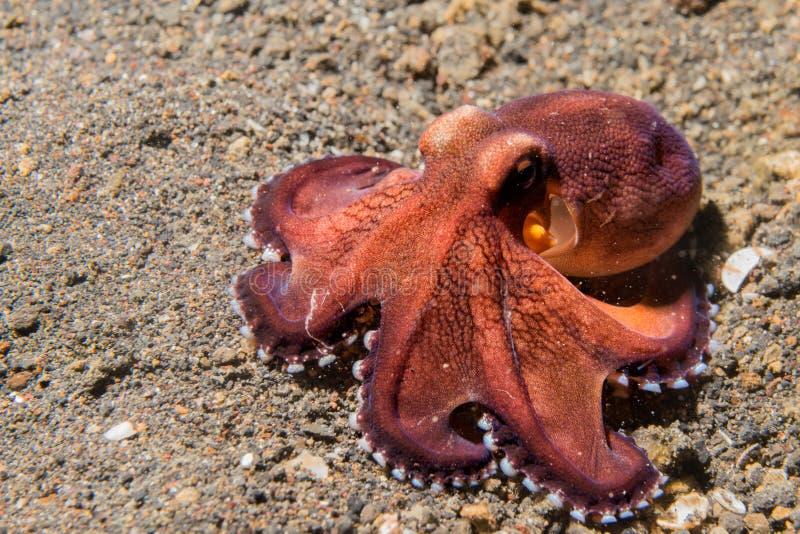 Retrato macro subacuático del pulpo del coco en la arena fotos de archivo