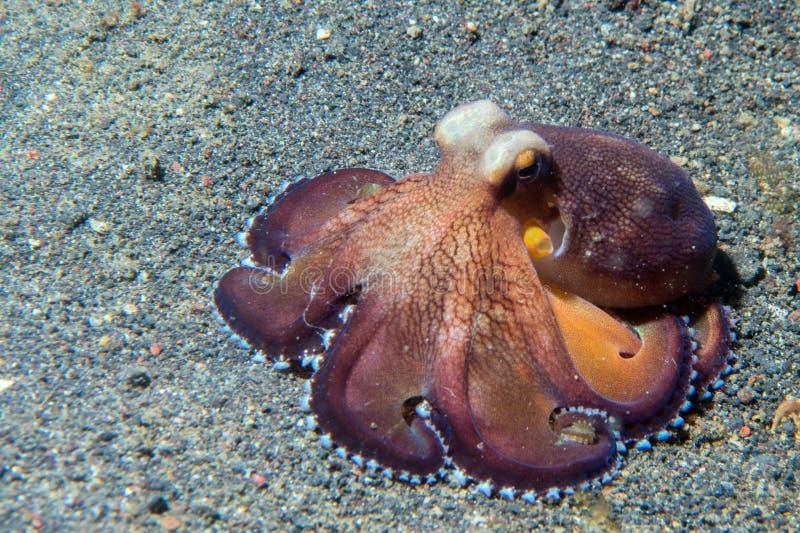 Retrato macro subaquático do polvo do coco na areia fotos de stock royalty free