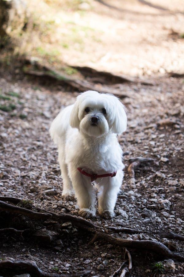 Retrato maltês fêmea adorável do cachorrinho imagens de stock