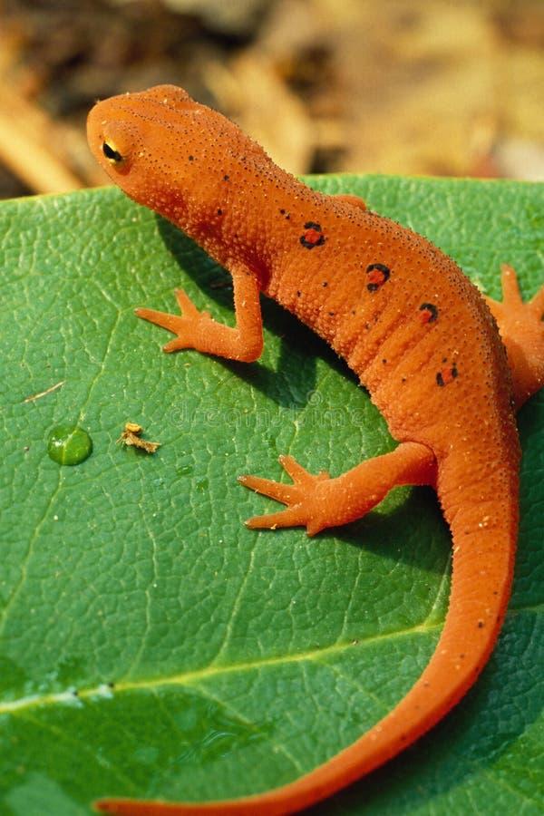 Retrato manchado vermelho do Newt fotografia de stock royalty free