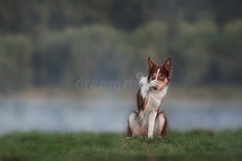 Retrato marrón feliz del border collie del perro foto de archivo libre de regalías