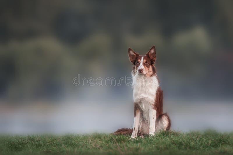 Retrato marrón feliz del border collie del perro imagen de archivo libre de regalías