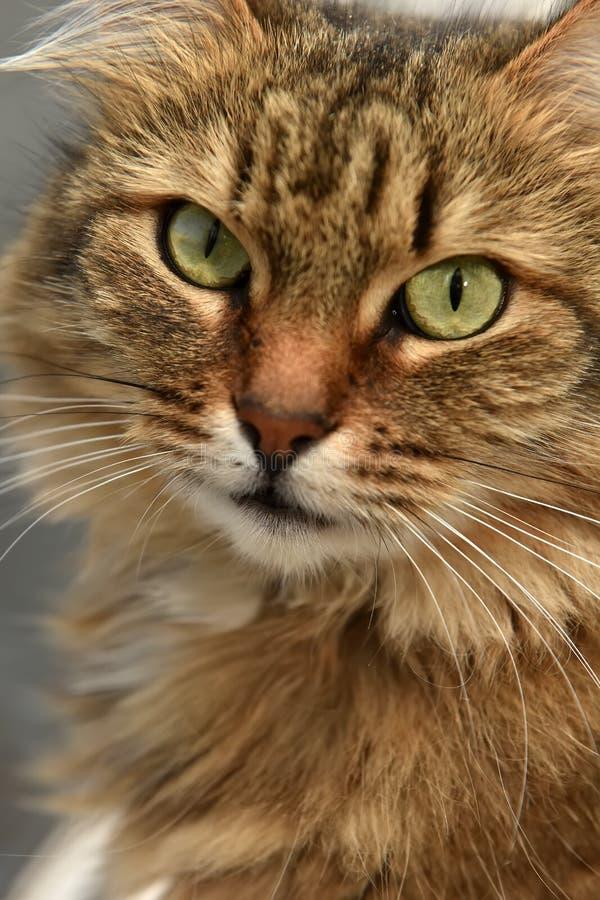 Retrato marrón siberiano del gato foto de archivo