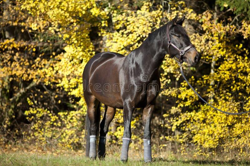 Retrato marrom bonito do cavalo no prado com as folhas de outono amarelas no fundo fotografia de stock
