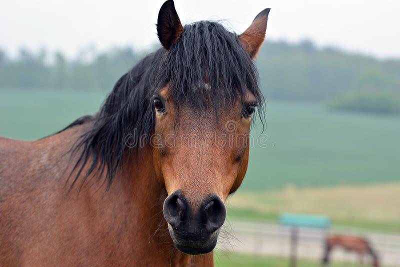 retrato marrom do cavalo imagem de stock