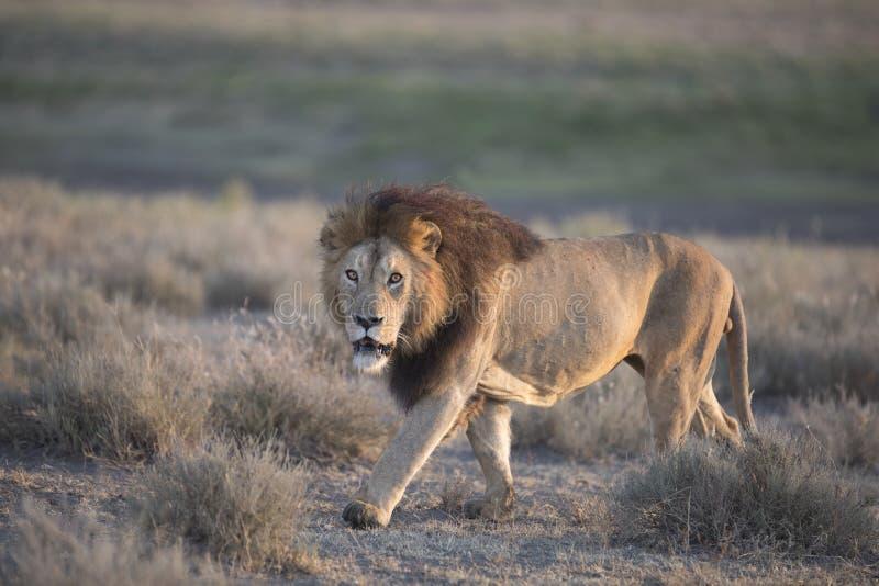 Retrato masculino africano vagueando selvagem do leão imagens de stock royalty free