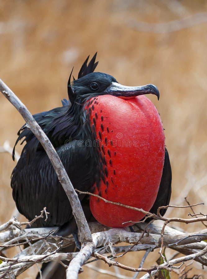 Retrato masculino de Frigatebird, islas de las Islas Galápagos, Ecuador foto de archivo libre de regalías