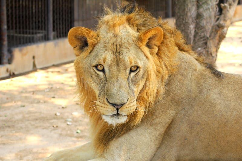 Retrato masculino de Lion Panthera leo del africano imagen de archivo