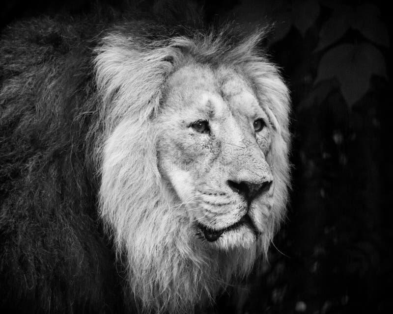 Retrato masculino del león blanco y negro imagen de archivo