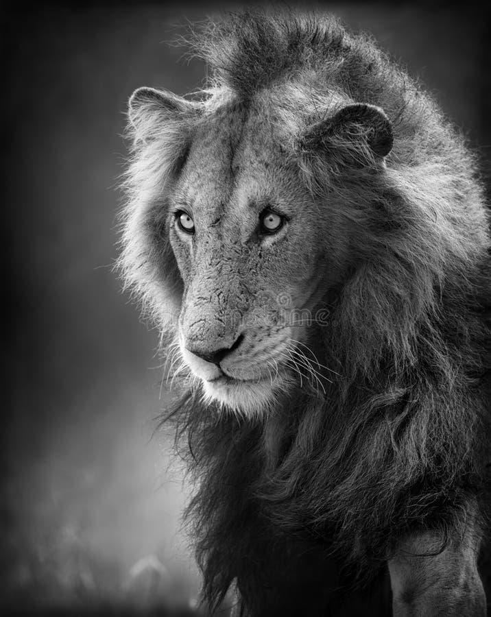 Retrato masculino del león (proceso artístico) imagen de archivo libre de regalías