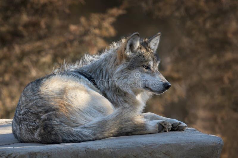 Retrato mexicano del perfil del lobo gris fotografía de archivo libre de regalías