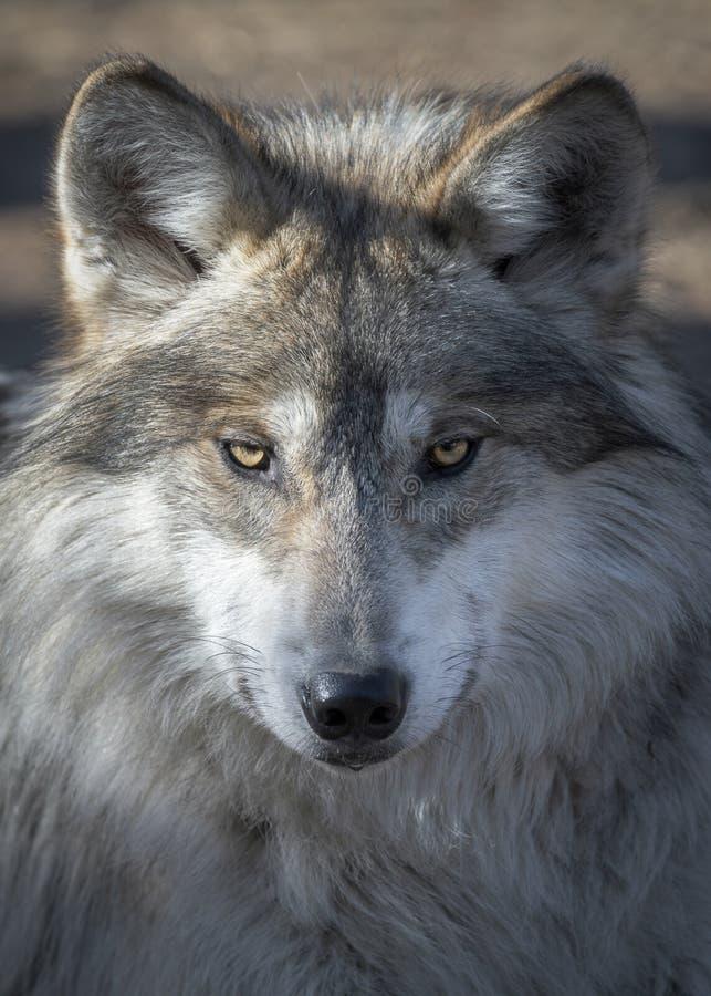 Retrato mexicano del primer del lobo gris imágenes de archivo libres de regalías