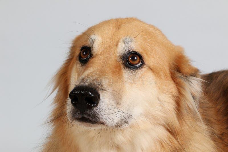 Retrato mezclado de la cabeza de perro del pastor en el estudio fotografía de archivo libre de regalías